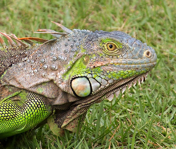 Iguana Head Start