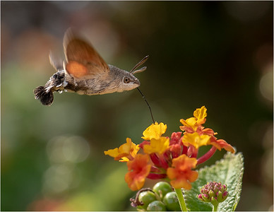 Humming Bird Hawk Moth Feeding