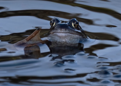 This Frog Salutes You