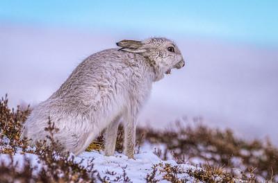 Mountain Hare Yawning