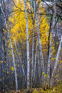 tamaracks and birches