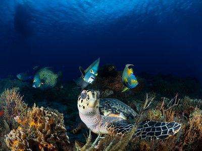 Hawksbill with Angel Fish Posse, Cozumel Mexico