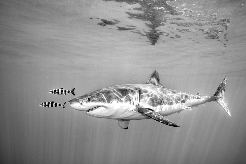 A Male Great White shark (Carcharodon carcharias) off the coast of Isla Guadalupe