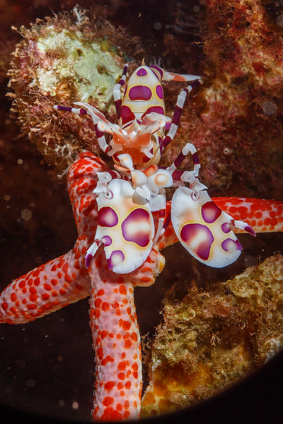 Harlequin Shrimp (Hymenocera picta)