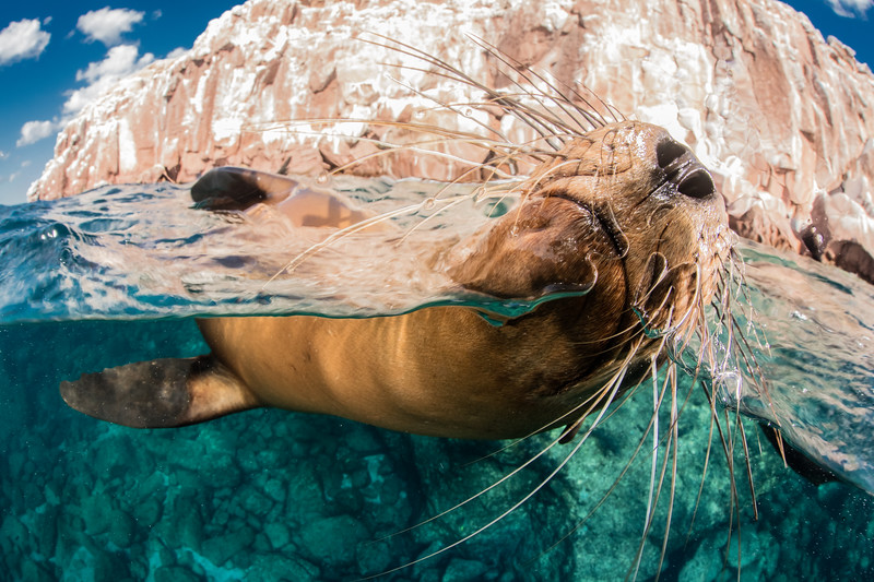 Sealion Closeup