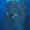 A oceanic manta (Manta birostris) cruises by Roca Partida while divers look on.