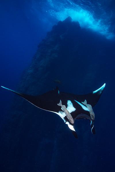 A oceanic manta (Manta birostris) cruises by Roca Partida.