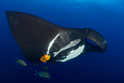 Oceanic manta ray and clarion angelfish