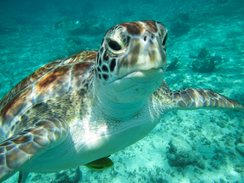 Close up of a green turtle, Riviera Maya, Mexico