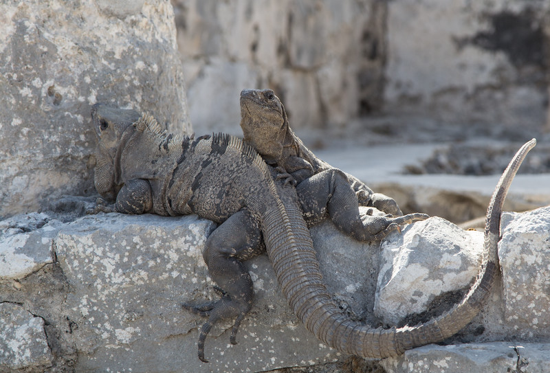 Two iguanas resting at the ruins in Tulum, Yucatan Peninsula, Mexico