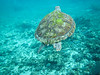 Green turtle swimming among fish, Riviera Maya, Mexico