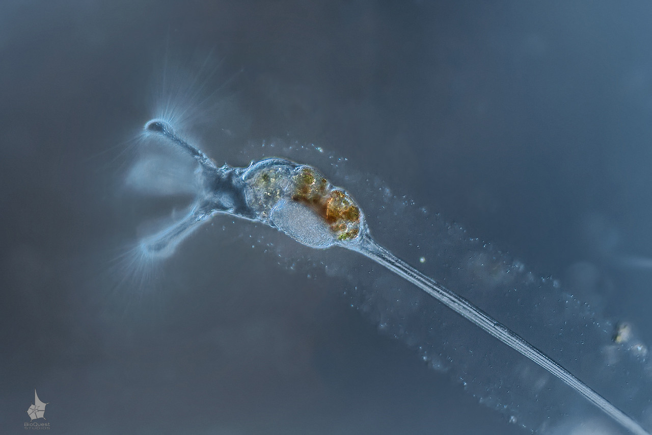 A freshwater rotifer Collotheca ornata. This is a filter-feeding invertebrate that attaches itself to various surfaces and captures prey with a really sophisticated corona that works like a trap. The image is made with a 20x objective.