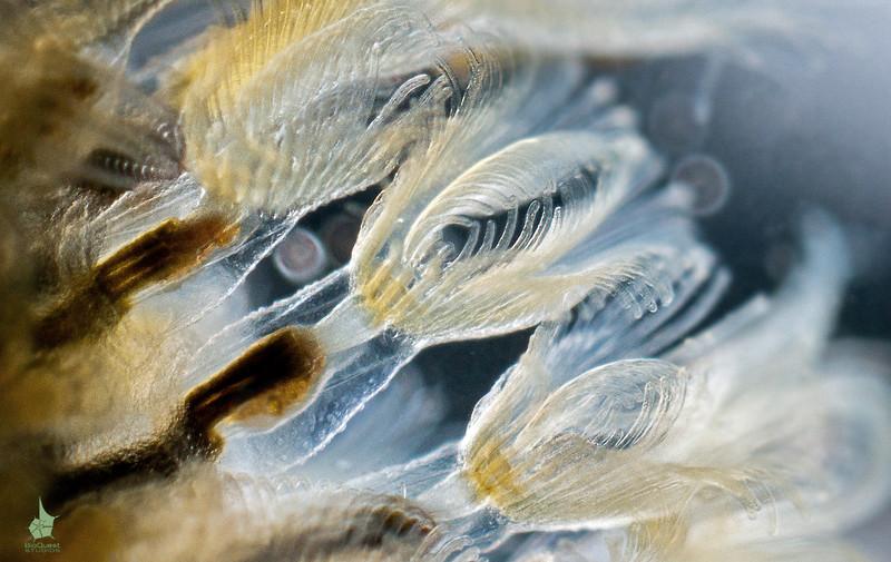 Freshwater bryozoan Cristatella mucedo.