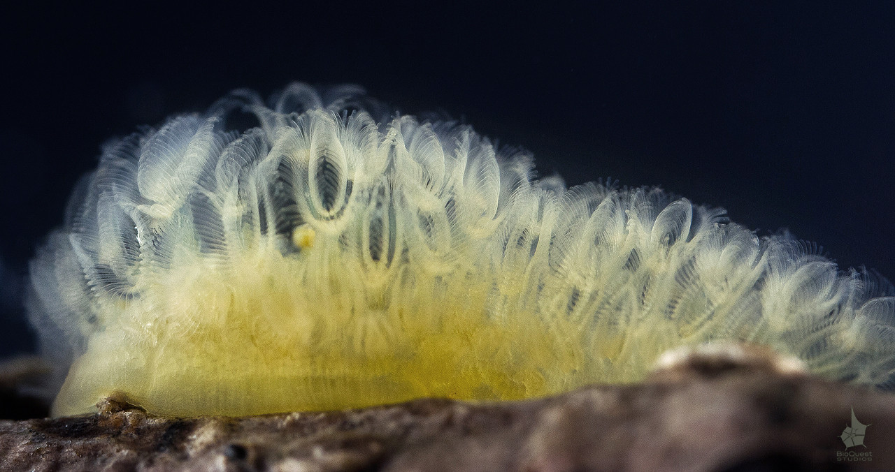 Freshwater bryozoan Cristatella mucedo. This is a colonial filter-feeding animal. Shot taken with a supermacro lens.
