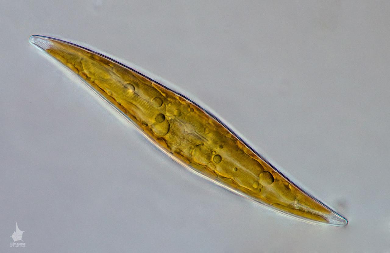 Gyrosigma diatom algea