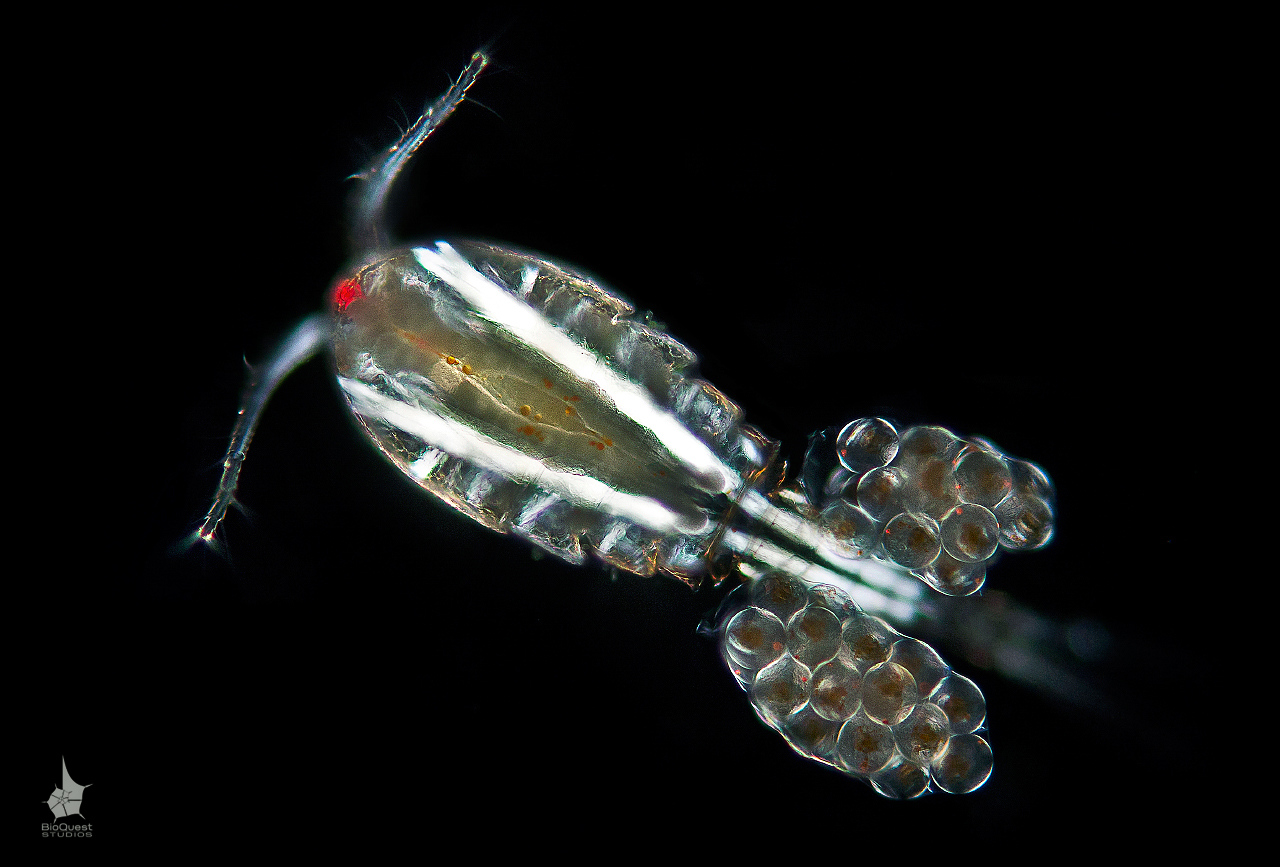 A cyclops, freshwater copepod. The size of the animal is about 0.5 mm. It is a female carrying eggs. A close observation can reveal red dots inside the eggs. The red dots are the single eyes of the developing babies.