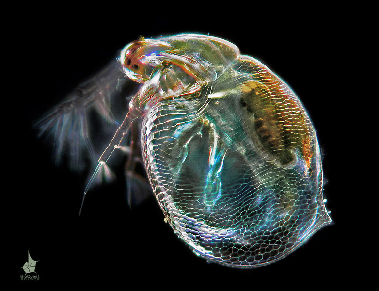 Ceriodaphnia sp., a water flea. The size of the animal is about 0.5 mm. The surface of the shell is clearly visible as well as a couple of limbs with muscules inside.