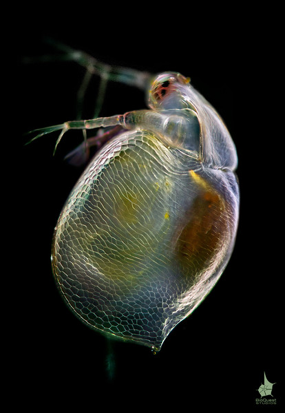 Ceriodaphnia sp., a water flea. The size of the animal is about 0.5 mm. The surface of the shell is fully in focus.
