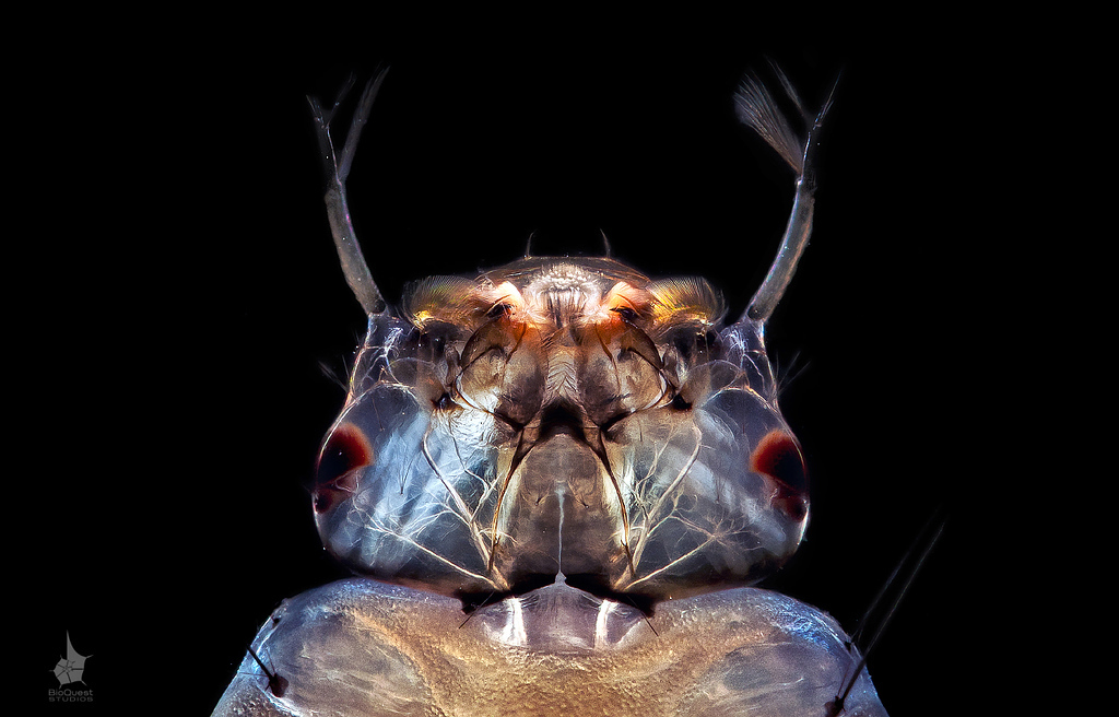 Culex sp. - a mosquito larva head (ventral view). Muscles moving mouth pieces are visible as bright white bands due to the polarized light contrasting technique.The image was commended at Sony World Photography Awards 2012