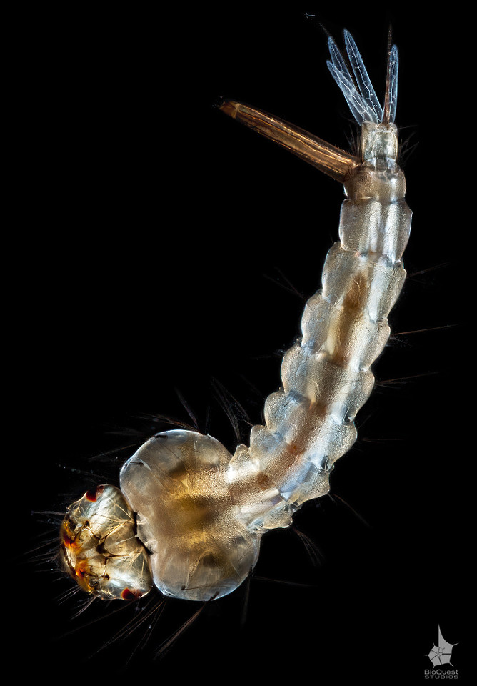 Culex sp. - a mosquito larva, ventral view. The size of the insect is roughly 1 cm (0.4 in). It is an exceptionally detailed image. A close inspection of a print can reveal the smallest circulatory vessels and nerves.
