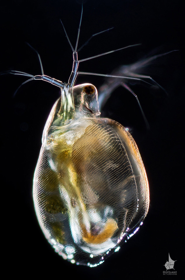 Simocephalus vetulus, a water flea. The size of the animal is about 0.7 mm. A number of muscles in the antennae and the abdomen are rendered as bright white bands due to the polarized light illumination. These crustaceans are abundant in ponds and swim using their antennae. They usually fall prey to fish and hydras.  Most people remember only daphnias from their biology classes. However, water fleas are diverse and Daphnia is just one genus. The image resolution is hight. The height is about 8000px.