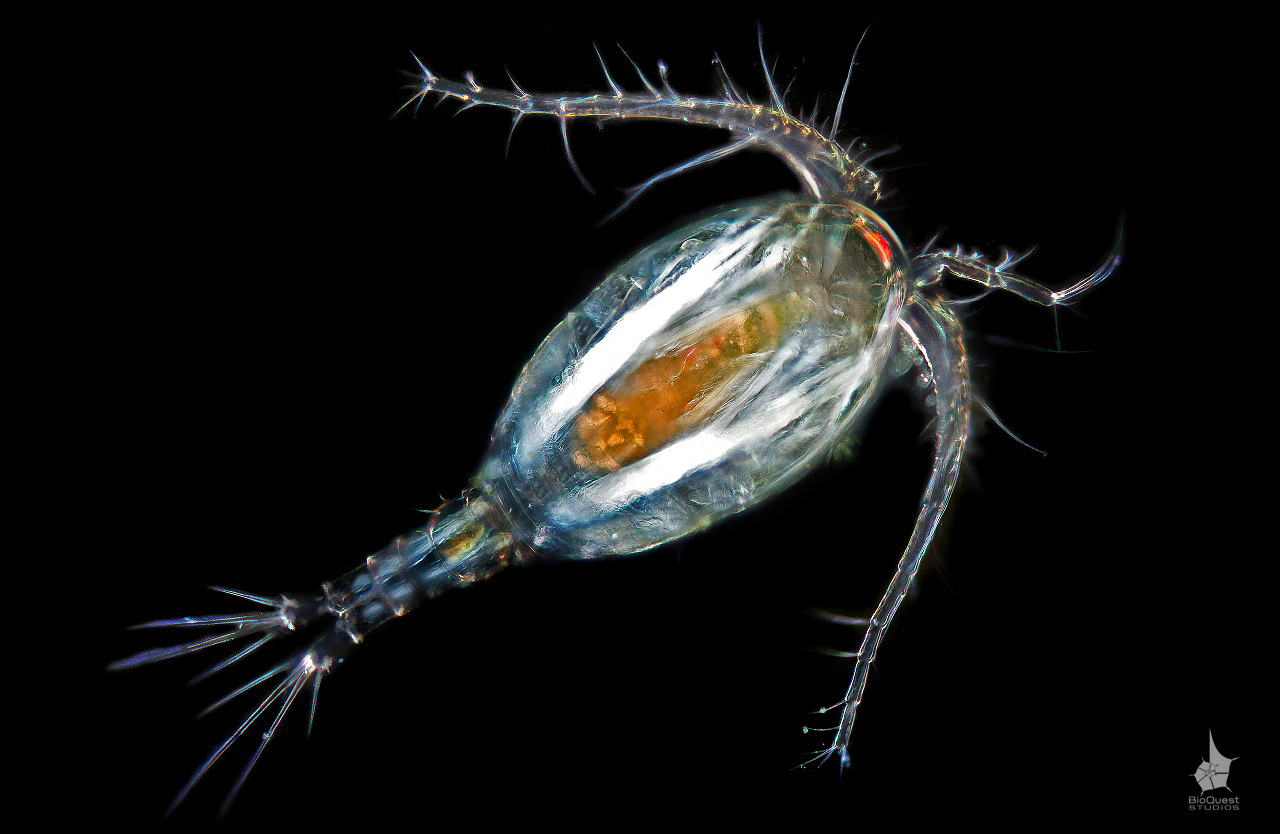 A freshwater copepod, possibly Mesocyclops edax. The size of the animal is about 1 mm. The shot taken in polarized light and muscles and fibrillar structures appear as bright bands. These copepods can predate on mosquito larvae and various other invertebrates.