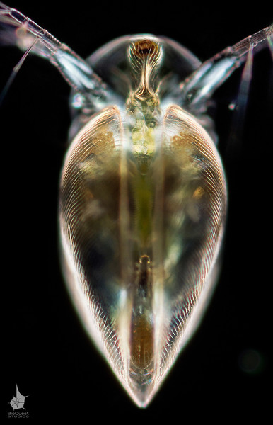 Simocephalus vetulus , a water flea. Frontal view.