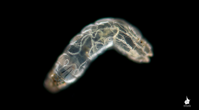 An unidentified diptera larva. It's a transparent worm-looking creature with guts and circulatory system clearly visible. It's a single shot made in polarized light. Stacking was impossible with this highly active animal.