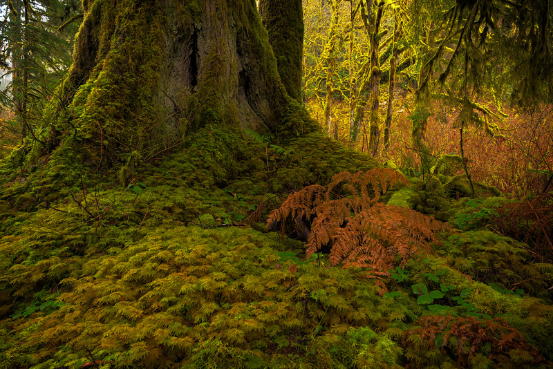 Forest Carpet of Moss