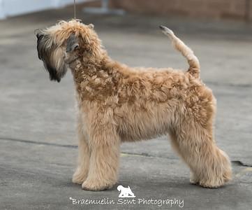 Minor Puppy Dog 1st & Best Puppy in Breed