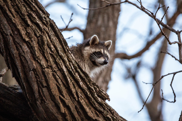 Trouble-making Raccoon