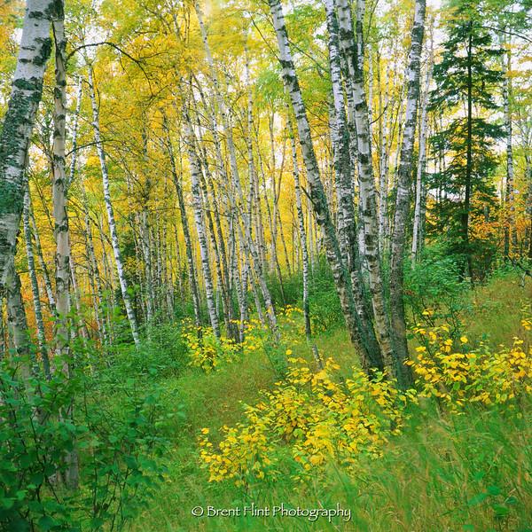 S.3138 - birch forest, Tettegouche State Park, MN.