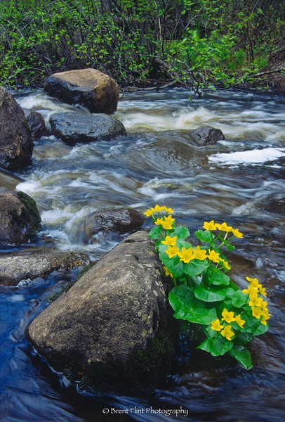S.3706 - marsh marigold in the Orion River, Superior National Forest, MN.
