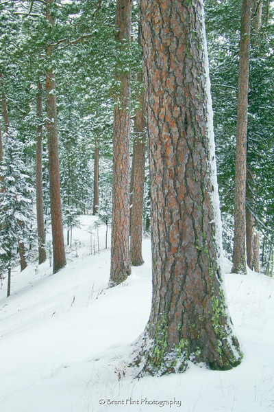 S.3098 - red pines in snow, Chase Point, Scenic State Park, MN.