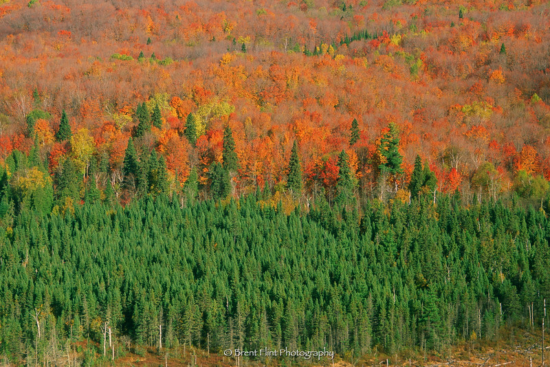 S.3423 - northern mixed forest, from Oberg Mountain, Superior National Forest, MN.