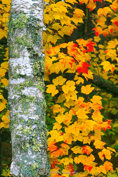 S.2198 - birch trunk and mountain maple leaves, Cowhorn Lake Trail, Itasca County, MN.