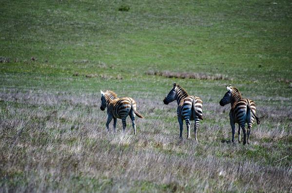 Zebras on the coast in San Simeon...