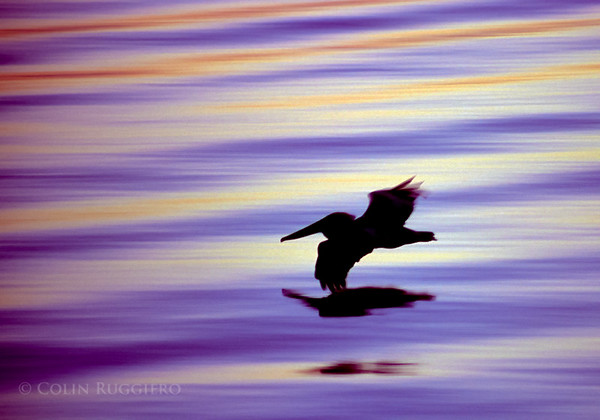 Pelican glides just over the surface of the water at dusk.