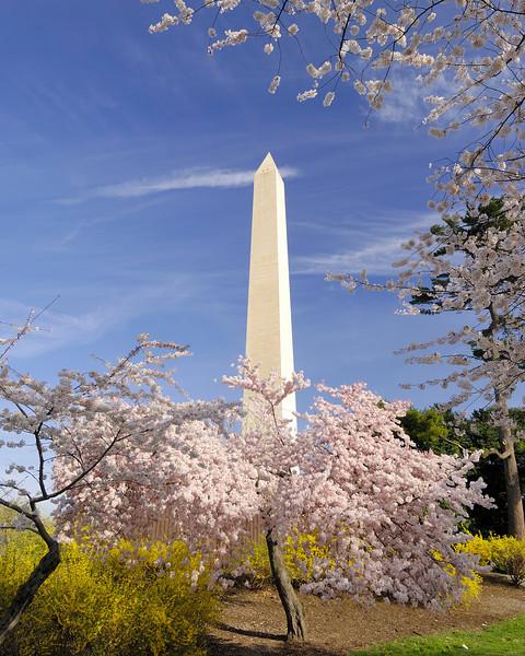 Cherry Blossoms and Forsythia