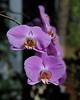 "Doritaenopsis ""Tinny Smile"""