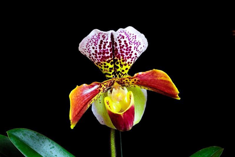 Paph. Hybrid - Cruella 'Spotted Double' x Luther Pass 'Double Spots'