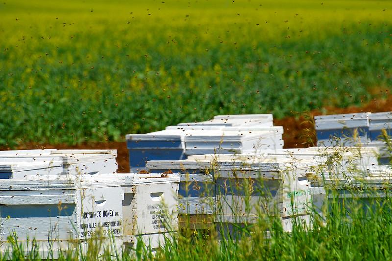 Bees on the edge of a canola field near Ashton, Idaho.