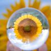Sunflower as seen through a lensball - Alabama