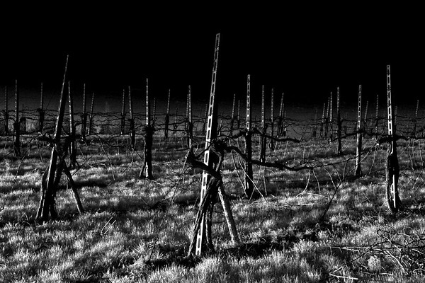 Vineyard - Scandiano, Reggio Emilia, Italy - March 20, 2011