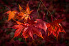 Acer Leaves - Westonbirt Arboretum