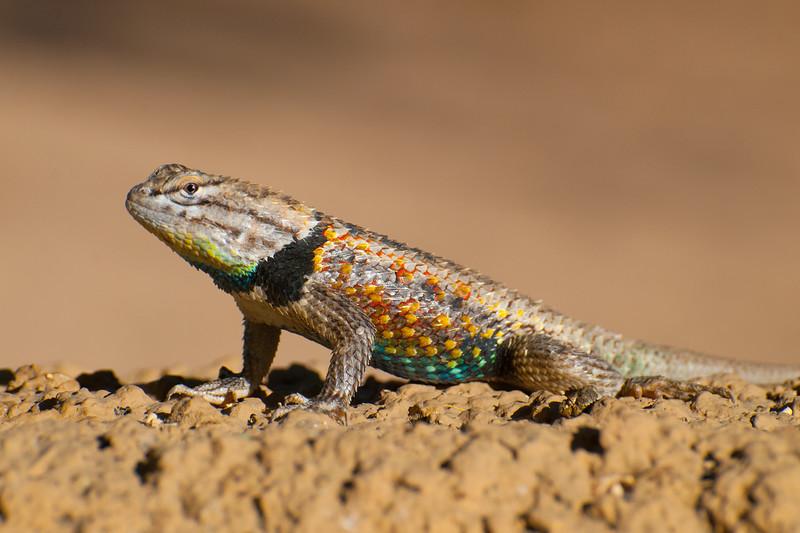 June 21, 2013<br /> <br /> Desert Spiny Lizard <br /> <br /> Phoenix Zoo