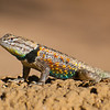 June 21, 2013<br /> <br /> Desert Spiny Lizard <br /> <br /> Phoenix Zoo