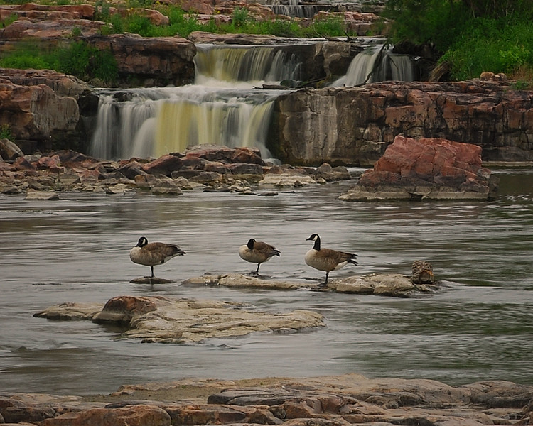 Geese at Sioux Falls, South Dakota