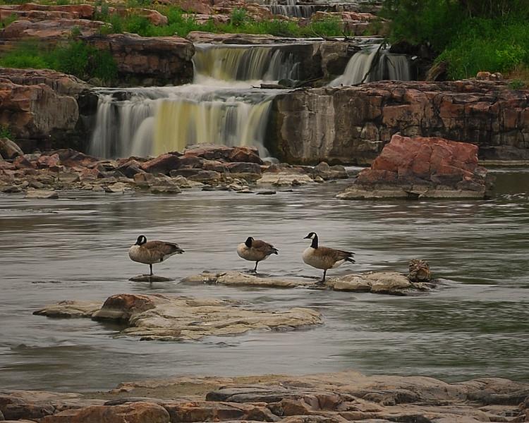 Geese at Sioux Falls, South Dakota