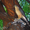 A Cooper's Hawk Catches a Dove